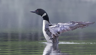 (un)Common Loon - from my archive