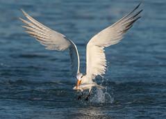 Royal Tern (PeterBrannon) Tags: thalasseusmaximus royaltern pinellascounty florida tampa nature wildlife fish catch fishing water gulf