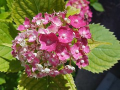 Hydrangea macrophylla (Iggy Y) Tags: hydrangea macrophylla spring blossom flower red color flowers green leaves velelisna hortenzija bigleafhydrangea hortensia nature park garden plant sunny day light