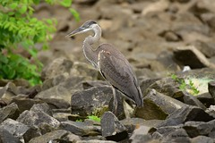 Great Blue Heron_6737 (Porch Dog) Tags: 2017 garywhittington kentucky nikond750 fx nikon200500mm wildlife nature birds outdoors feathers july summer