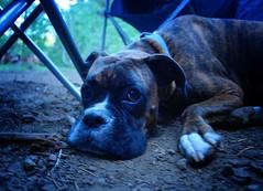 Camp Dog (sonstroem) Tags: camping dog camp summer tired lazy shadow boxer brindled brindleboxer blue