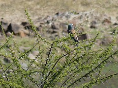 P1150130 Zimbabwe (66) (archaeologist_d) Tags: zimbabwe stanleylivingstonesafarilodge lilacbreastedroller birdwatching africa southernafrica safari