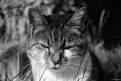 Minet en noir et blanc (Mystycat =^..^=) Tags: minetthecat minet cat chat gato gatto kitty katze félin feline animaldecompagnie sunrays5 coth5