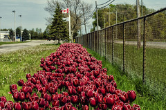 Happy Canada 150 Fence Friday (Paul B0udreau) Tags: canada ontario niagara paulboudreauphotography nikon nikond5100 photoshop street nikkor50mm18 clouds raw canadaday jordan tulips red canadianflag canada150 hff fencefriday lincoln