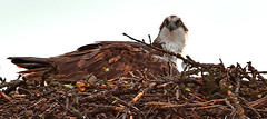 Nesting (Spectacle Photography) Tags: osprey pandionhaliaetus bird birdofprey banff banffnationalpark alberta canada westerncanada wildlifewatching nest nesting