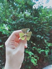 Lucky? (Kollua) Tags: clover lucky trevo plants amazing nature beautiful botanical garden jardim natureza folha leaf folhas verde クローバー 葉 ナツラブ 幸せ 運