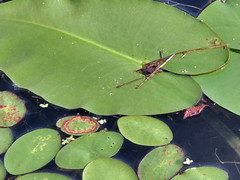 Water Lily leaves (ginhollow) Tags: plants summer massachusetts waterlillies pond