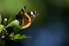 Red Admiral (jeffpatrick501) Tags: butterfly red admiral bristol leigh woods