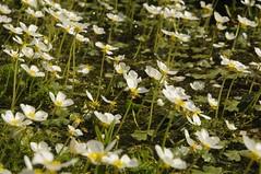 Sumpfblüten - Schild-Wasserhahnenfuß (Ranunculus peltatus); Bergenhusen, Stapelholm (16) (Chironius) Tags: stapelholm schleswigholstein deutschland germany allemagne alemania germania германия szlezwigholsztyn niemcy blüte blossom flower fleur flor fiore blüten цветок цветение moor sumpf marsh peat bog sump bottoms swamp pantano turbera marais tourbière marécageuse weis bergenhusen