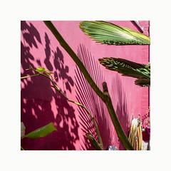 Tropical (hélène chantemerle) Tags: jardinsurbains mur soleil ombre végétation branches feuilles vert rose urbangarden wall sun shadows leaves green pink