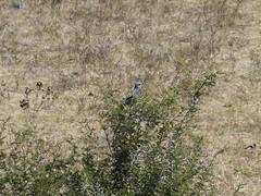 P1150130 Zimbabwe (20) (archaeologist_d) Tags: zimbabwe stanleylivingstonesafarilodge lilacbreastedroller birdwatching africa southernafrica safari
