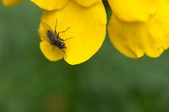 20170702_Jardins_Secrets_Vaulx_Fl (11 sur 20) (calace74) Tags: rhonealpes fleur france insectes jardin jardinssecrets macro vaulx