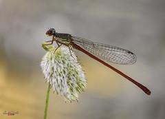 Ceriagrion tenellum, caballito rojo (gatomotero) Tags: ceriagriontenellum olympusomdem1 mzuiko60 damselfly reddamselfly nature naturaleza macrofield ambiente aliste zamora