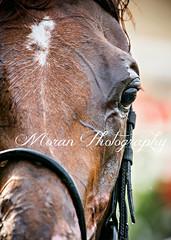 Divine Miss Grey (EASY GOER) Tags: horseracing sports equine thoroughbreds horses belmontpark canon5dmarkiii horse racetrack ny sportofkings racing athletes thoroughbred newyorkstate canon 5d mark iii races 5dmarkiii