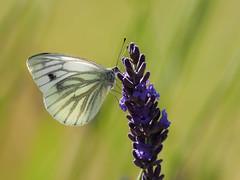 Green-Veined White (bredmañ) Tags: white butterfly greenveinedwhite insect pierisnapi wild uk british wildlife closeup macro naturallight handheld lavender flower olympus em1 300mmf4