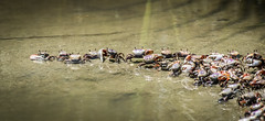 Fiddler Crabs (T.M.Peto) Tags: fiddlercrabs fiddlercrab crab crabs wildlife wildlifephotography animals estuary brackishwater sand nikond3300 nikonphotography water southcarolina inlet littleriverinlet ecology biology outdoor outdoors crustacean