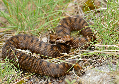 Asp Viper (Vipera aspis) female (found by Jean NICOLAS)