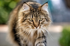 Cattitude (backbeatb00gie) Tags: 105mm caturday elsie attitude backyard cat focus look maincoon model nikon outside stare walk littledoglaughedstories