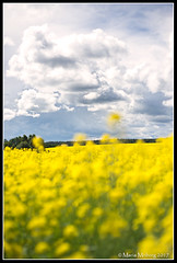 Farming land (mmoborg) Tags: yellow field raps sweden mmoborg landscape