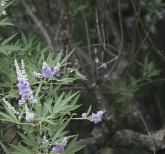 Humming Around (dzmears) Tags: bird hummingbird green trees tree purple flower