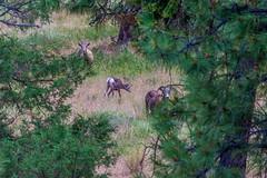 17_07_10_Okanagan_101.jpg (Vicars Hodge) Tags: okanagan kelowna westsideroad animals wildlife vacation bighornsheep other