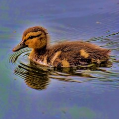 Duckling  - July 2017 (Valerie Sauve-Vancouver) Tags: duckling swimming pond amblesideparkwestvancouverbc nature outdoors park birds nikon ty litt pretty
