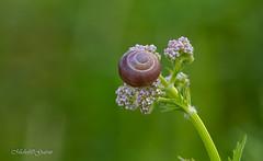 Escargots - Snails (MichelGuérin) Tags: 2017 canada escargots michelguérin montréal nature nikkor200500mmf56afseedvr nikond500 québec snails technoparcmontréal © ca