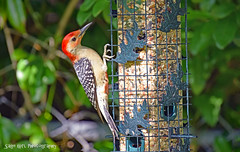 Woodpecker on Feeder (Sage Girl Photography) Tags: woodpecker animal wild backyard feeder seeds nature outdoors leaves spring may sagegirl nikond3300