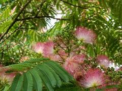 Albizia julibrissin (sander_sloots) Tags: albizia julibrissin silk tree zijde boom rotterdam leaves flowers pink roze bloemen bladeren