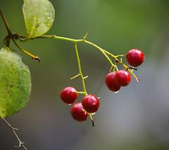 IMGP0529 Supplejack fruit Zealandia 27-06-17 (Donald Laing) Tags: new zealand wellington zealandia wildlife sanctuary native plants animals donald laing