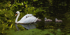 Swan & Cygnets (Andrew Hocking Photography) Tags: swan cygnets babies roathpark cardiff wales southwales wildlife nature water lake pond green follow following