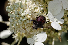 Tachnid Fly (*Millie*-Trying to catch up, slowly!) Tags: animalplanet white tachnidfly ugly insect bug fly hydrangea hairy nature flower unioncanaltunnelpark lebanonpa