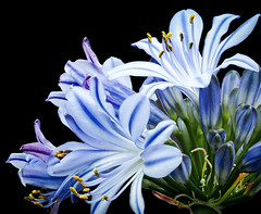 Agapanthus (African lily) (Roniyo888) Tags: agapanthus perennial rhizomatous rootstock deciduous evergreen grasslike foliage african lily bluish blue white petals