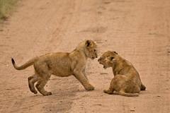 Lions of Maasai Kopjes 446 (Grete Howard) Tags: bestsafarioperator bestsafaricompany africa africansafari africanbush africananimals whichsafaricompany whichsafarioperator tanzania serengeti animals animalsofafrica animalphotos lions lioncubs maasaikopjes kopjes kopje