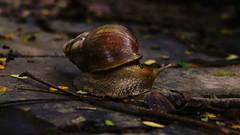 A Monsoon Walk (richard_fernando) Tags: vibrant colourful fresh freshness nature life wet leaves vashi navimumbai mumbai monsoon rains rain shell snail