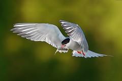 Fluss-Seeschwalbe (Sterna hirundo) im Flug mit grossem Flussbarsch (Perca fluviatilis) (t_neuber) Tags: flussseeschwalbe vogel murtensee inflight bird wildlife natur fisch