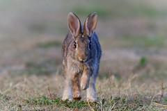 Wild Rabbit 3600(6D3) (wildlifetog) Tags: wild wildlifeeurope wildlife ramsarsite rabbit herseynaturereserve southeast seaview isleofwight uk mbiow martin blackmore britishisles britain british england european eos6d nature canon