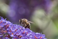 Climbing the hill of flowers (ian.berridge1) Tags: bee flowers summer nature bournemouth dorset macro yellow purple olympus