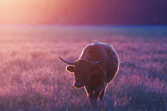 Heck cattle (Michal Jeska) Tags: heck cattle cow lens sun flare canonef400mmf56lusm canon 400mm 56 l eos 40d