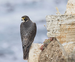 _J3A9780 7D Mark ll Tamron 150-600mm G2 Peregrine Falcon Adult (greaves_russell) Tags: bigmorongocanyonpreserve boxcanyonrd nature animals tattoodesigns tattoos fitness travel sprint overstock people music flickr dancingwiththestars games oops bing foxnews espn cars target bestbut bolsachicawetlands wildlife jobs locations typesofclothing professions days hours minutes dog cat fish bird cow moon world earth forest sky plant wind flower amazon ocean river mountain rain snow tree sanjoaquin anzaborrego huntingtonbeach disneyland knottsberryfarm sandiego forsterstern
