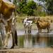 Cattle in a waterhole