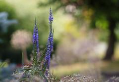 Sauges et aïl d'ornement (Mariette80) Tags: jardin sauge 50mmf14