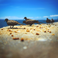 190 : 365 : VI (Randomographer) Tags: project365 bird eat nuts beach hawaii maui lahaina wild ocean sky 190 365 vi animal wildlife