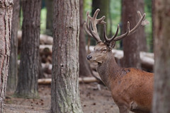 cerf-0014 (philph0t0) Tags: cerfélaphe cervuselaphus cerf élaphe cervus elaphus stag reddeer red deer 12cors