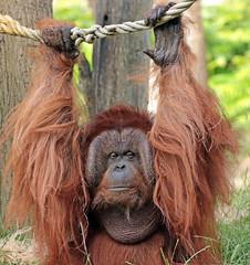 borneo orangutan Kevin Apenheul BB2A7139 (j.a.kok) Tags: orangutan orangoetan borneoorangutan borneoorangoetan asia azie mammal monkey mensaap primate primaat zoogdier dier animal kevin ape aap apenheul borneo