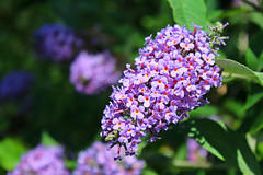 IMG_0674 (jaybluejeans94) Tags: nature flower plant flowers rose wales summer macro amateur