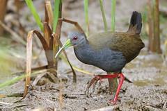 Blackish Rail (Alan Gutsell) Tags: blackish rail blackishrail rallidae gruiformes wetlands alan nature wildlife photo canon brazilbirds brazil