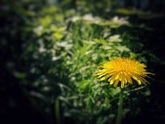 Baby you can drive my dandelion (qp1977) Tags: 7dwf flora dandelion flower yellow huaweip9