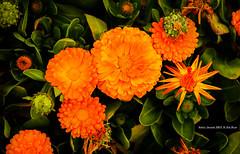 flower (gwnam.2008) Tags: yongsan seoul korea southkorea flower blossom orange orangecolor floral green plant nature spring