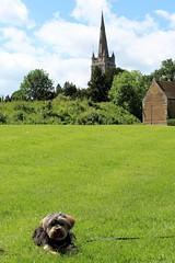 Flo Yorkie Poo Dog Sitting in Cutts Close Park Oakham Rutland (@oakhamuk) Tags: flo yorkiepoo dog sitting cuttsclose park oakham rutland